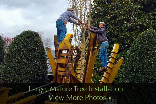 Large-Mature-Tree-Installation-Services