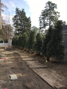 Gallery Evergreen Privacy Tree Installation Cartwright Landscaping
